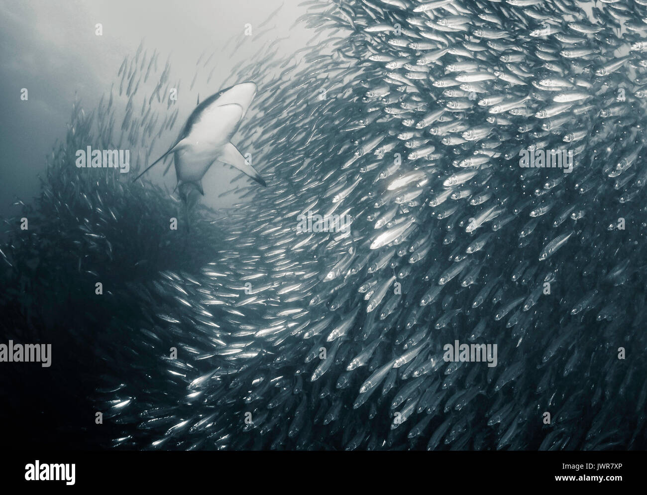 Bronze whaler shark feeding on sardines during the annual sardine run off the east coast of South Africa. - Stock Image