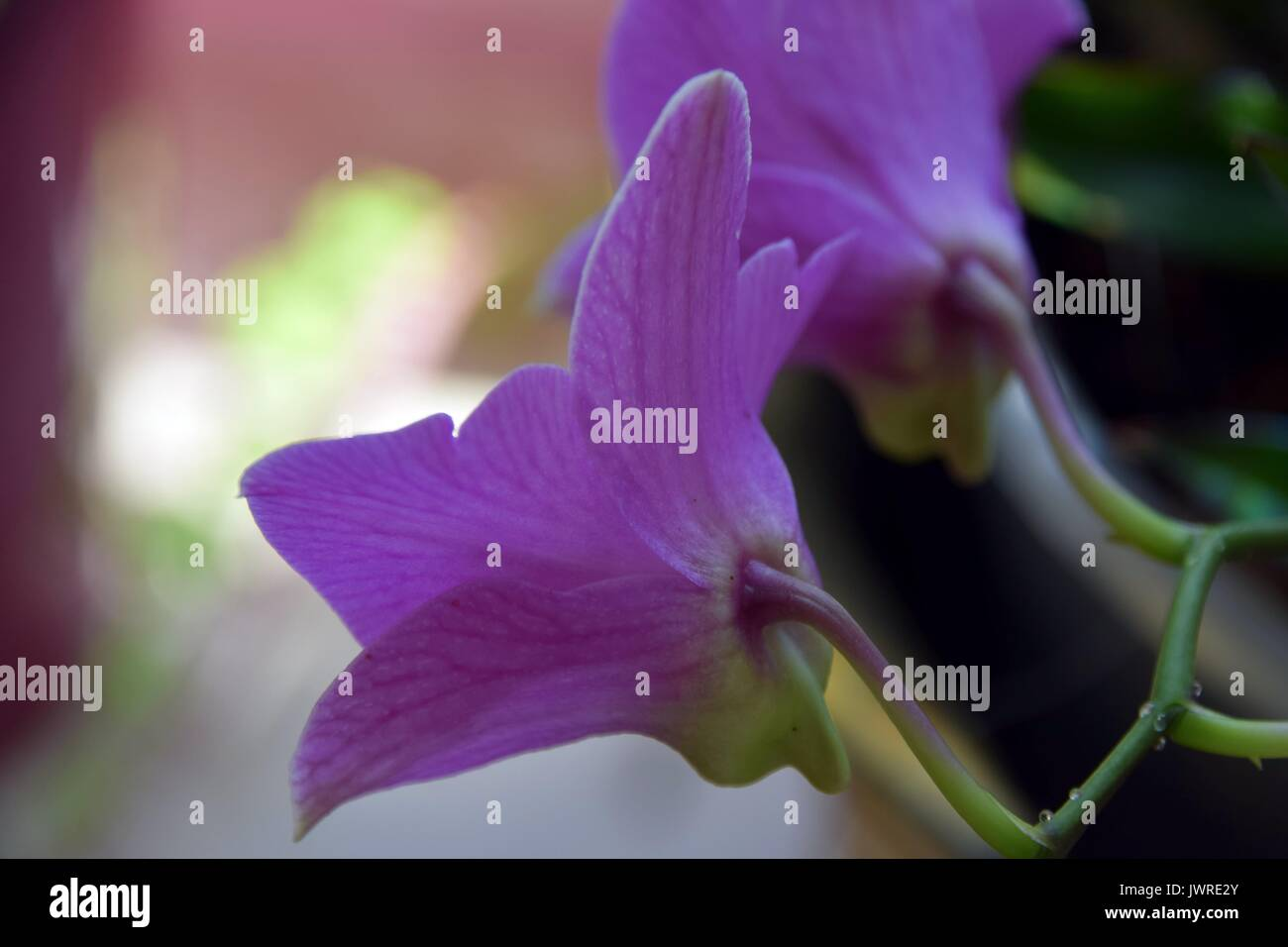Pink Orchid, Pink Phalaenopsis - Stock Image
