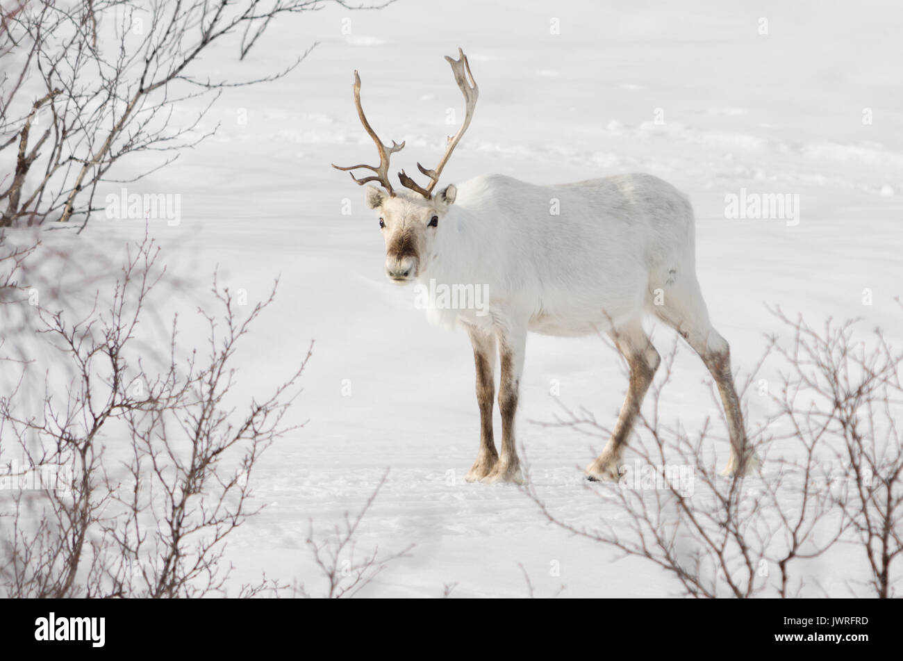 White reindeer in snow standing and watch - Stock Image