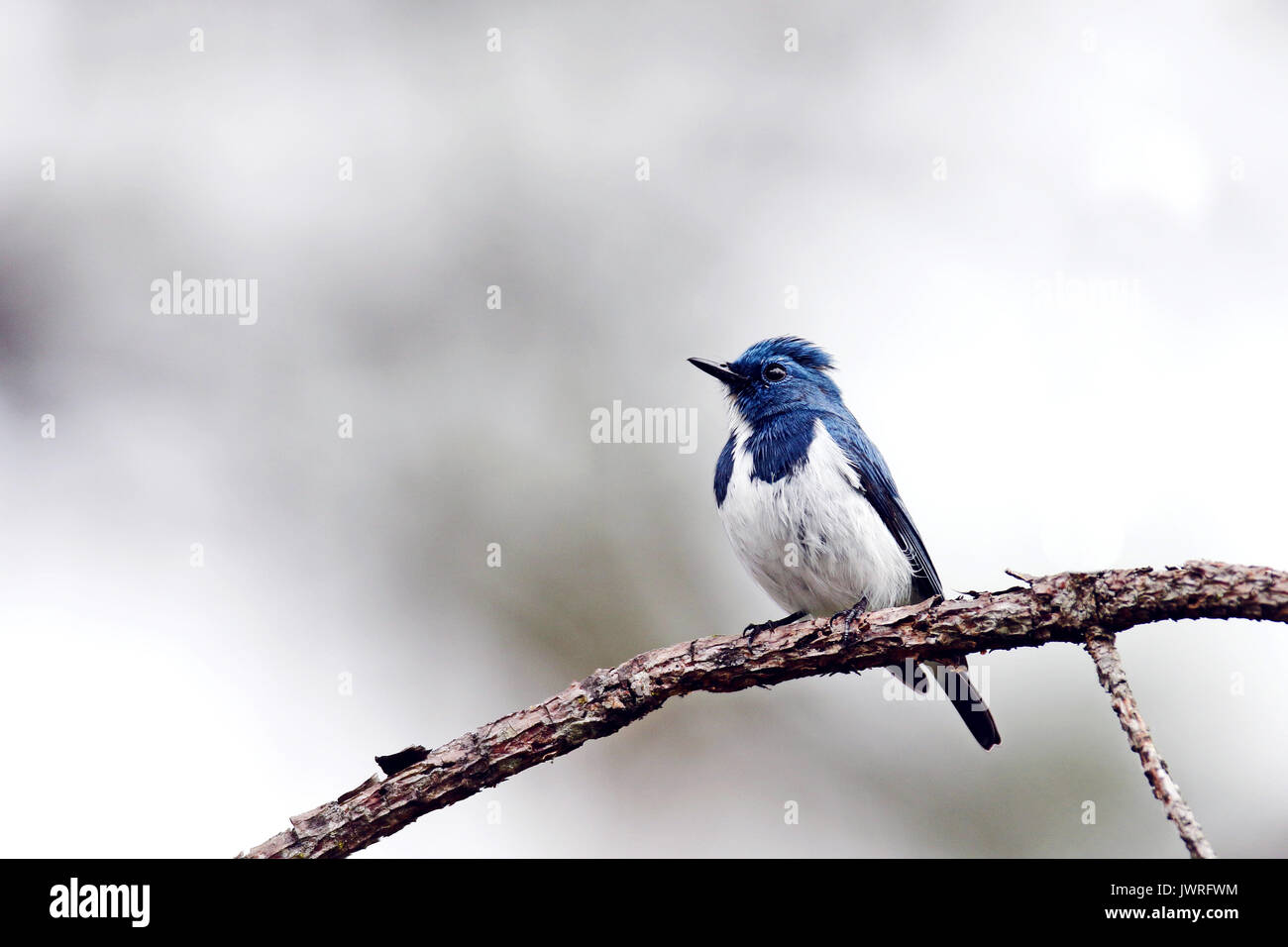 A beautiful bird in the wild Asia. White-browed blue flycatcher or Ultramarine flycatcher (Ficedula superciliaris) the beautiful blue bird perching on - Stock Image