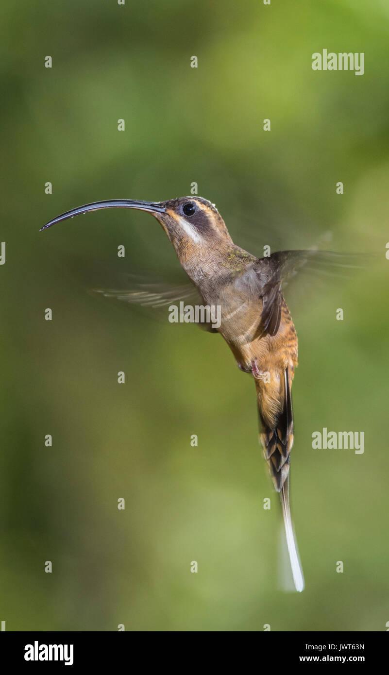 Long-tailed Hermit, Phaethornis superciliosus hovering, Laguna del Lagarto, Boca Ttapada, san Carlos, Costa Rica - Stock Image