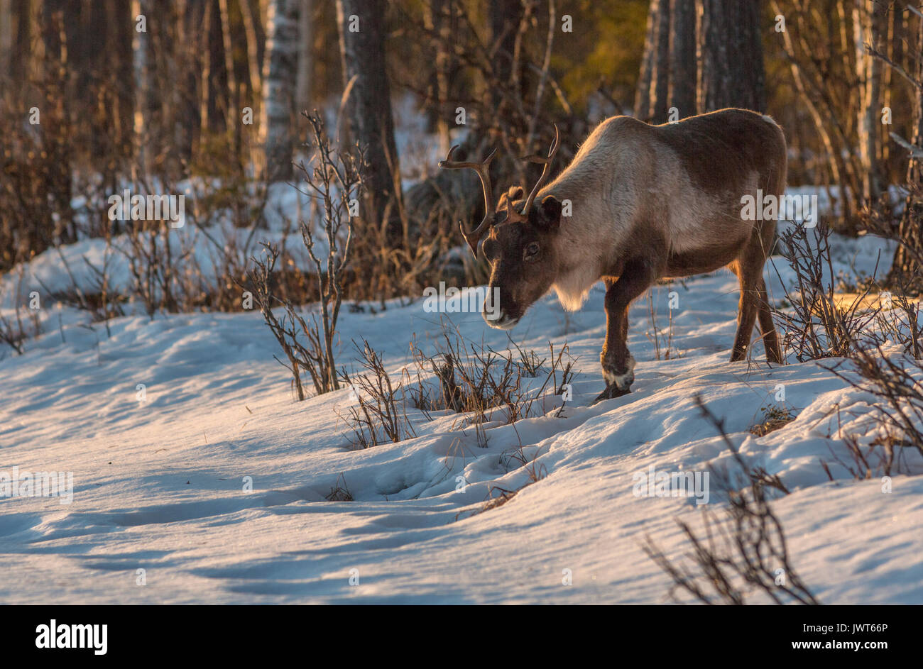 Reindeer, Rangifer tarandus walking in forest at sunset in warm nice colors, big antlers and a lot of snow on the ground, Norrbotten, Sweden - Stock Image