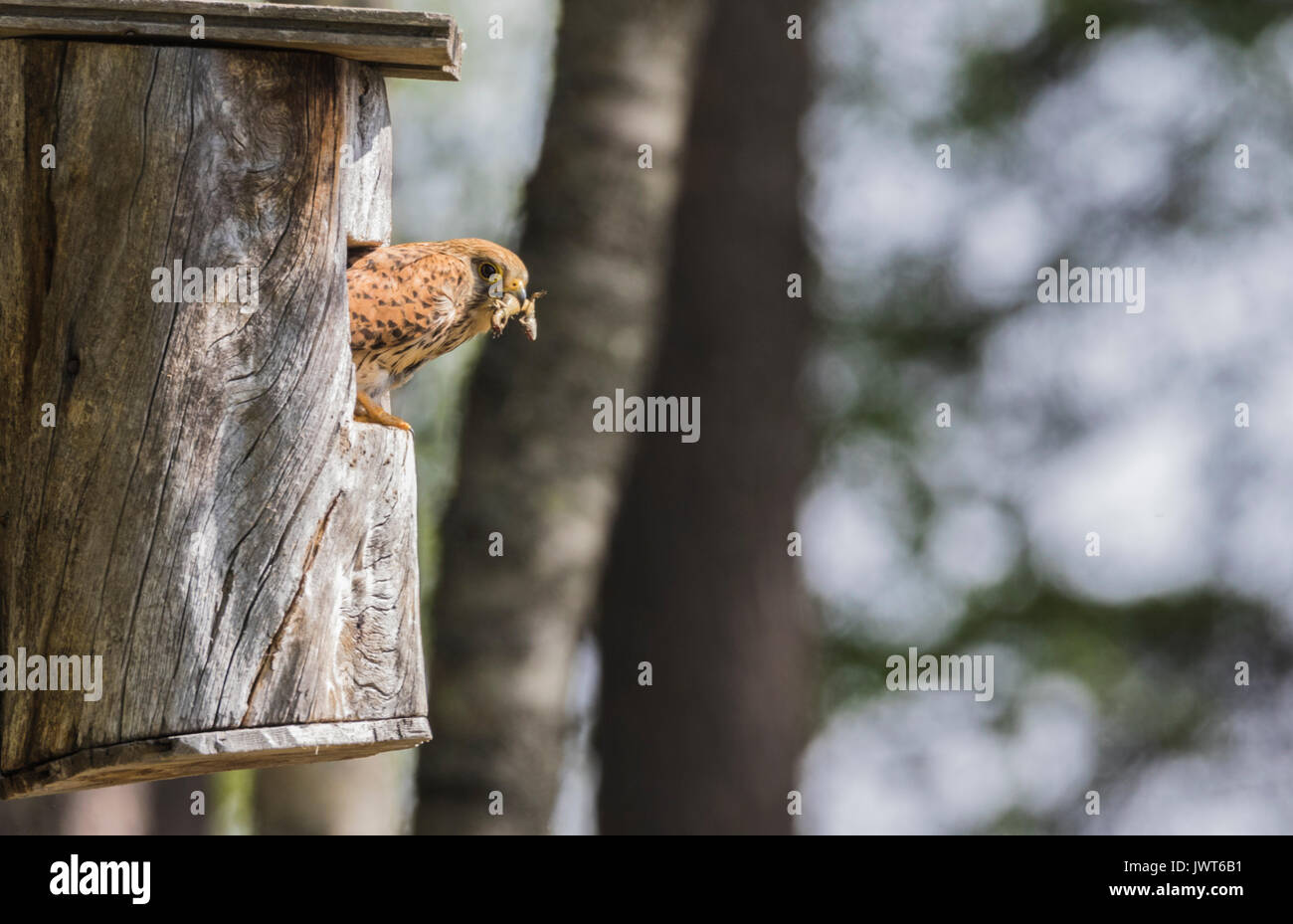 Female Common kestrel, Falco tinnunculus, sitting in a bird-house looking out and having a lizard in her beak, looking in to the camera, Norrbotten, S - Stock Image