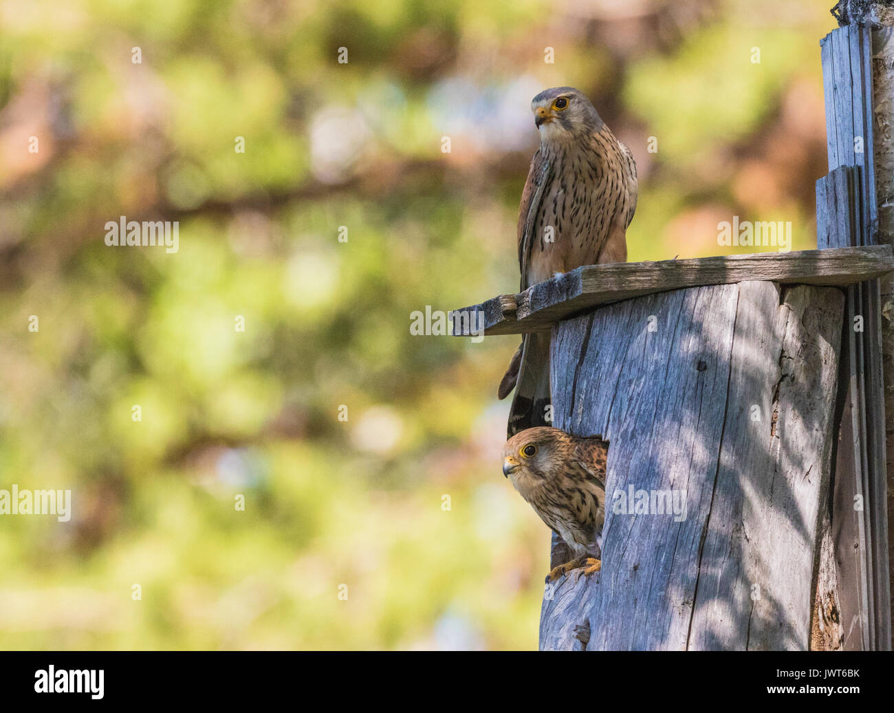 Male and female Common kestrel, Falco tinnunculus, sitting on a bird-house and the female is looking out from it, Norrbotten, Sweden - Stock Image