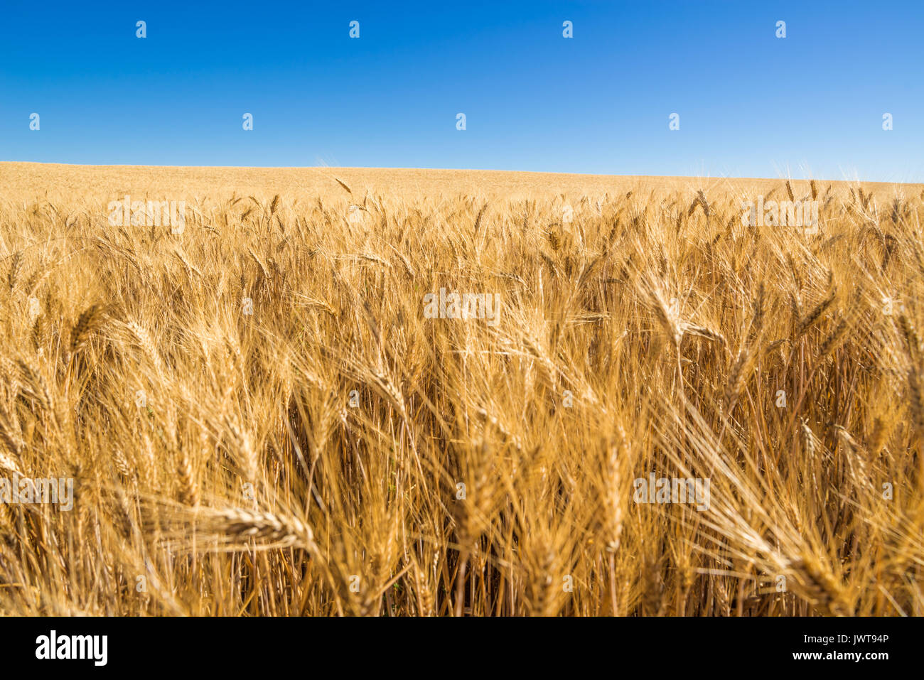 Wheat field and blue sky in Valensole in summer. Alpes de Hautes Provence, PACA Region, Southern French Alps, France - Stock Image