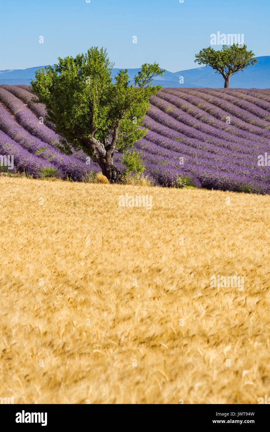 Wheat and lavender fields with trees in Valensole in summer. Alpes de Hautes Provence, PACA Region, Southern French Alps, France - Stock Image