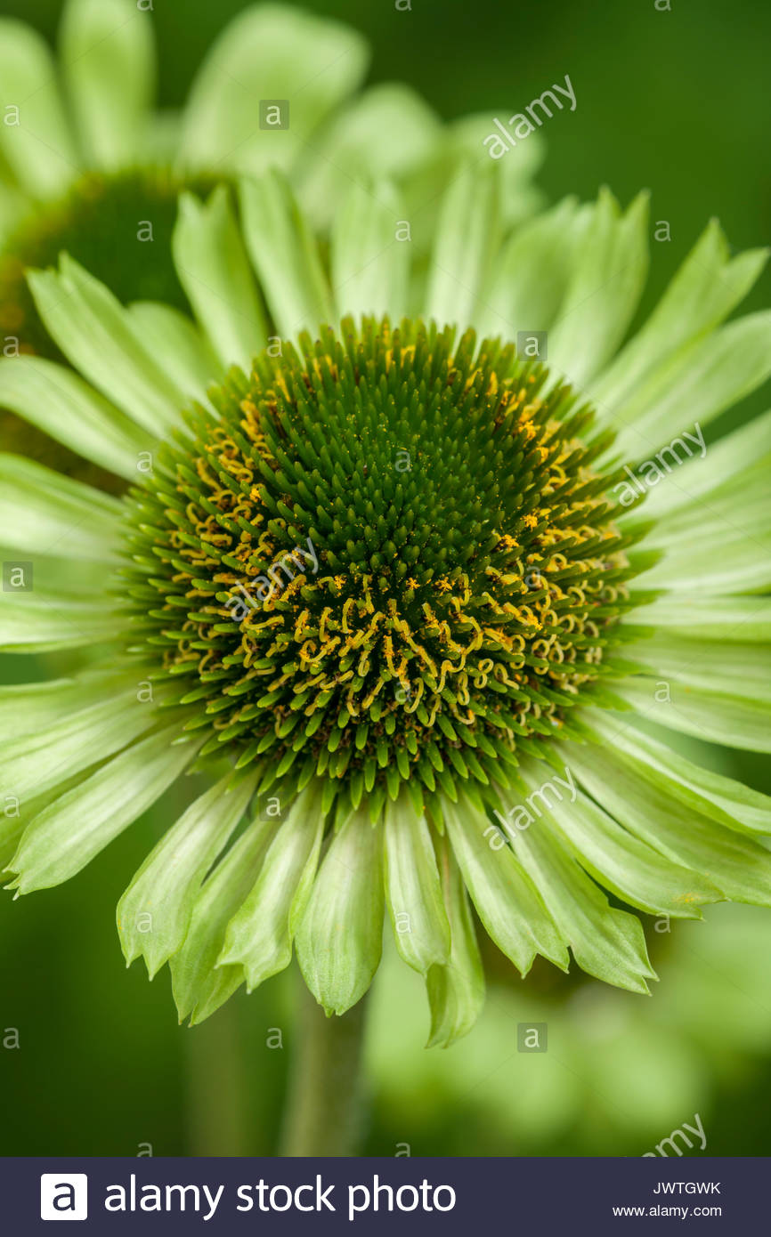 Echinacea 'Green Jewel' - Stock Image