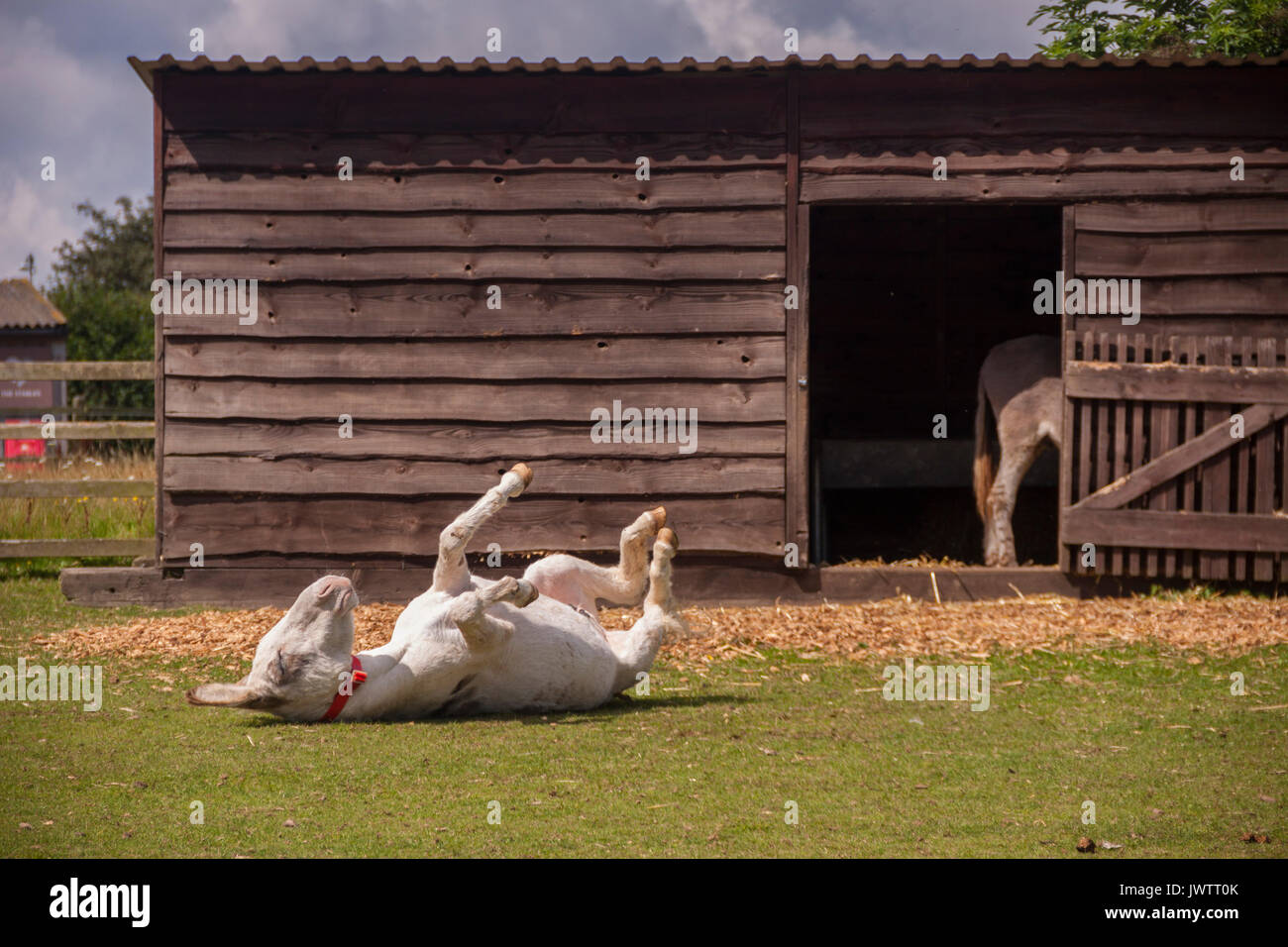 Donkey rolling in the grass at Sidmouth donkey sanctuary - Stock Image