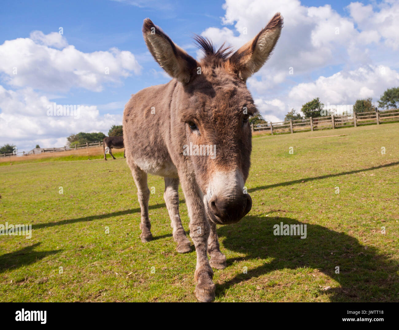 Donkey close up at Sidmouth donkey sanctuary Stock Photo