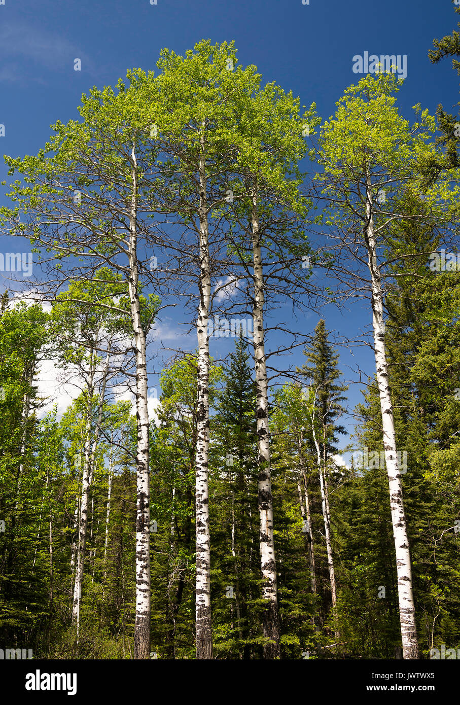 Beautiful Silver Birch Trees with Clear Blue Sky in Woodland at Kananaskis Alberta Canada - Stock Image