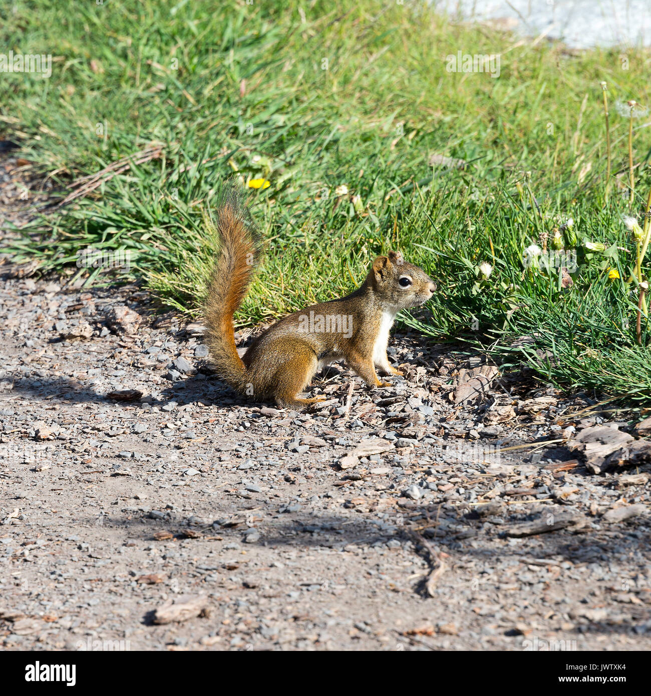 An Alert American Red Squirrel on a Gravel Path at Canmore Banff National Park Alberta Canada - Stock Image