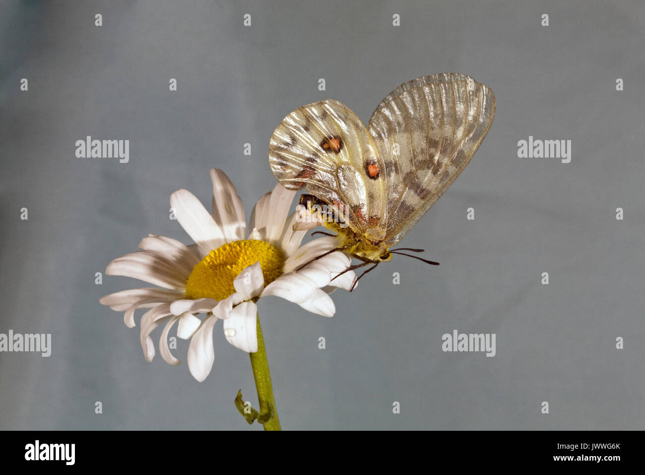 A female Clodius Parnassian butterfly resting on an ox-eye daisy. The whitish structure on her abdomen is a sphragis, a mating plug deposited on her g - Stock Image