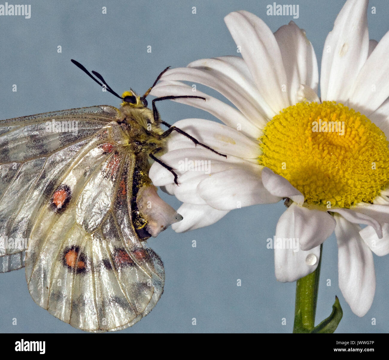 A female Clodius Parnassian butterfly resting on an ox-eye daisy. The whitish structure on her abdomen is a sphragis, a mating plug. - Stock Image