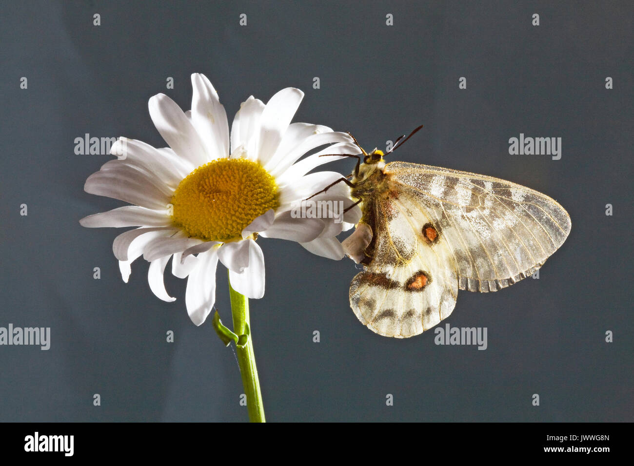 Portrait of a female Clodius Parnassian butterfly, Parnassius clodius, also known as American Apollo, and Clodius Apollo, with a sphragis attached to  - Stock Image