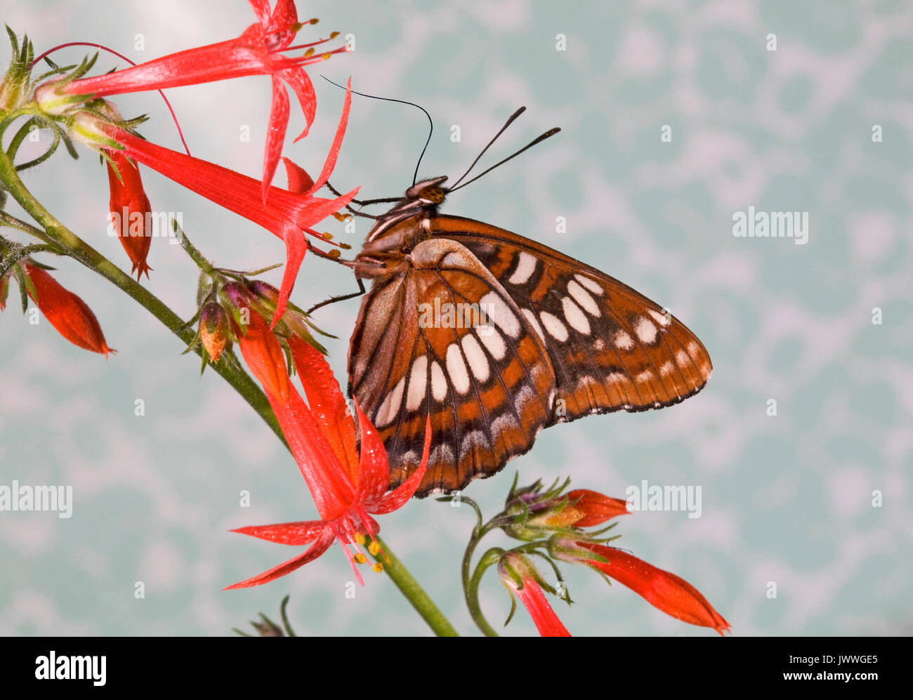 A Lorquin's Admiral butterfly, Limenitis lorquini,  alighted on a Columbian lily wildflower. - Stock Image