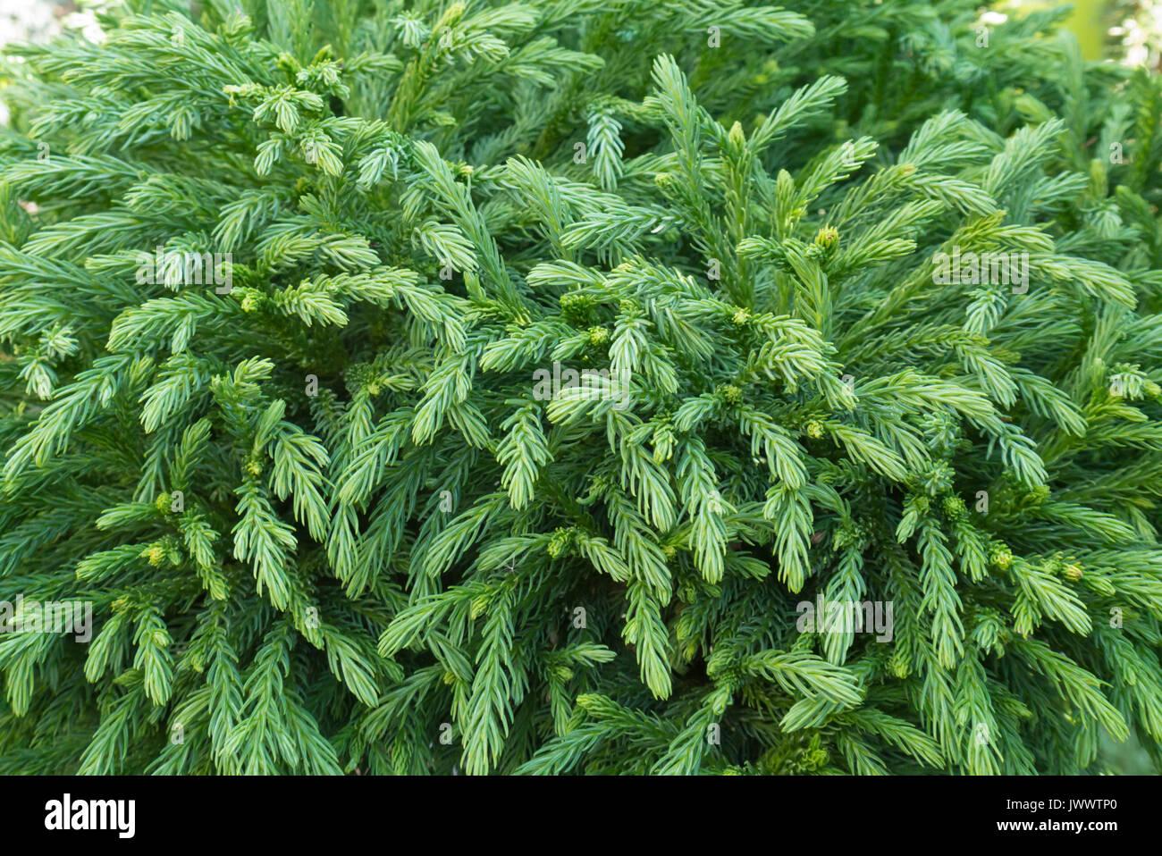 Japanese Cedar Cryptomeria Japonica Globosa Nana Stock Photo