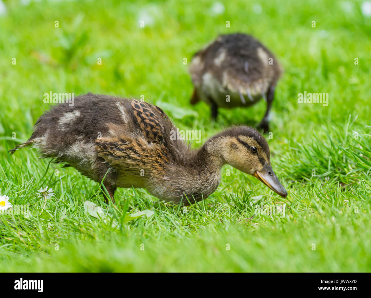 Cute Mallard duckling (Anas platyrhynchos) on grass in Summer, in West Sussex, England, UK. Young Mallard duck chick. - Stock Image