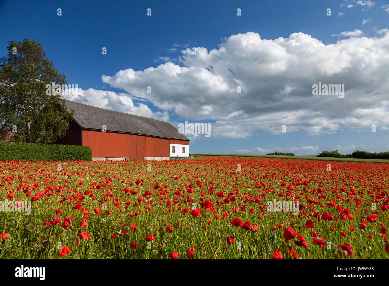 Image of a large field of red poppies with a farm building. - Stock Image