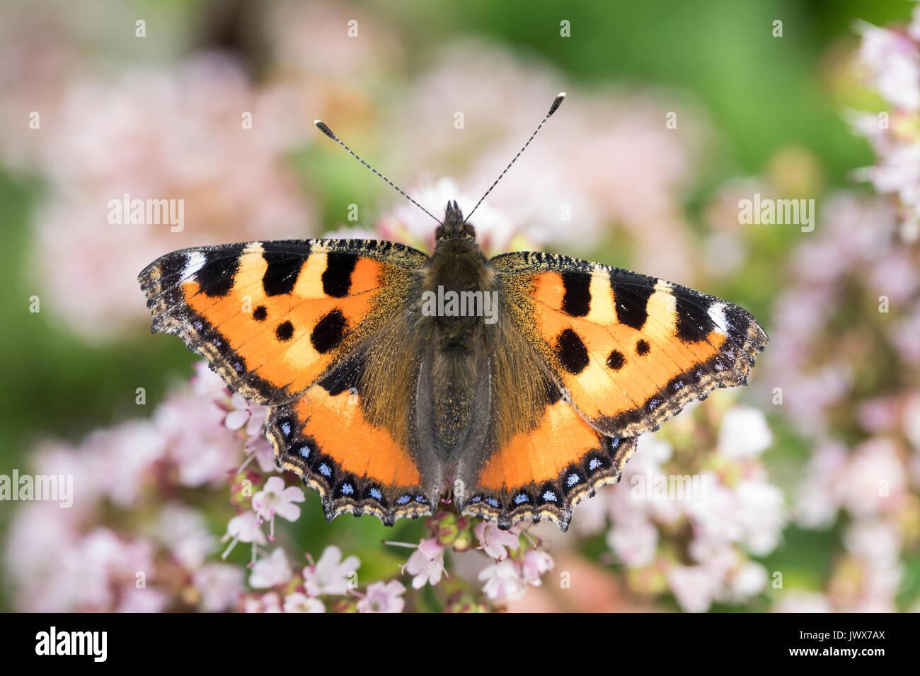 Kleiner Fuchs, Aglais urticae, Nymphalis urticae, small tortoiseshell, La Petite Tortue, Vanesse de l'ortie - Stock Image
