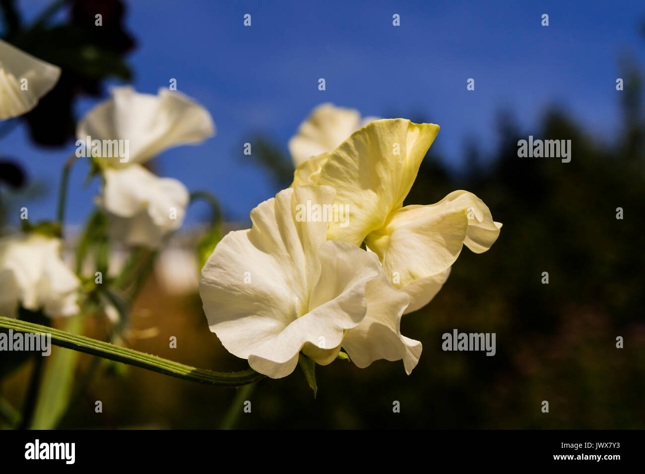 White Sweet Peas  (Lathyrus odoratus) flowers close-up in a garden. Stock Photo