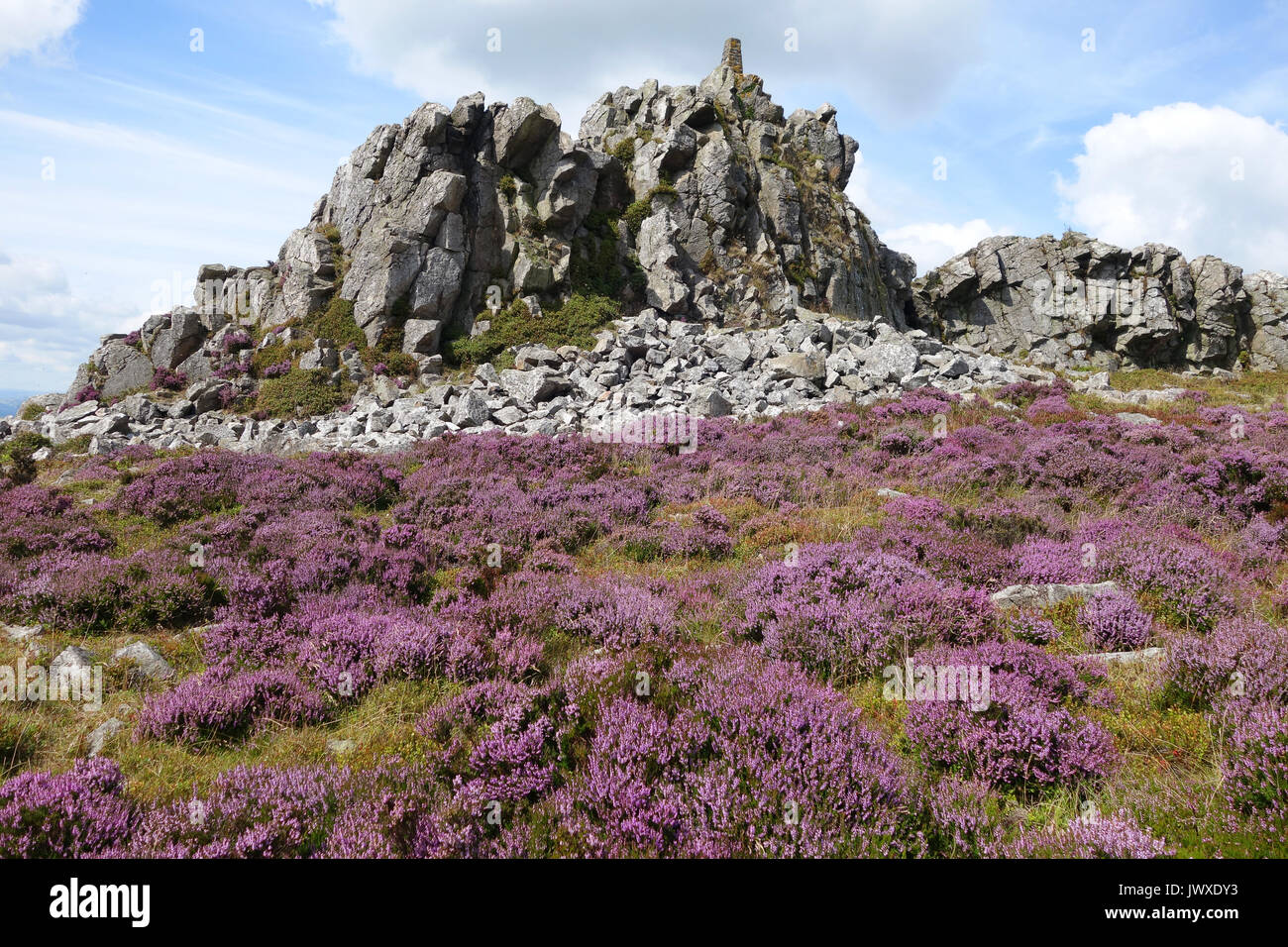 Purple heather flowering on the Stiperstones hill in Shropshire England Uk - Stock Image