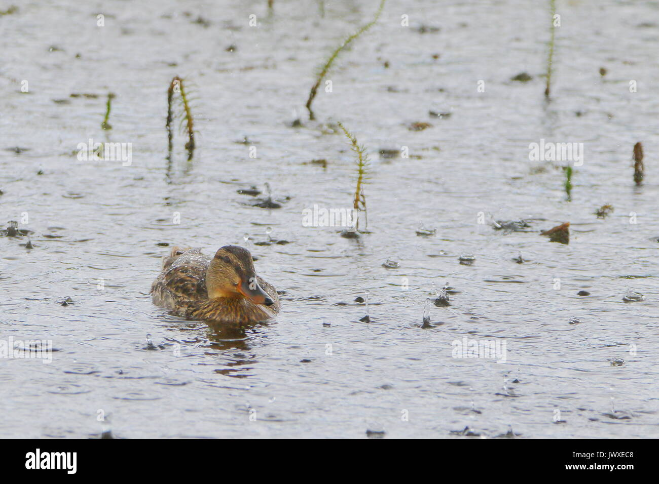 Great weather for ducks; Female mallard,  Anas platyrhynchos,  in the rain at RSPB Saltholme, Teesside; UK - Stock Image