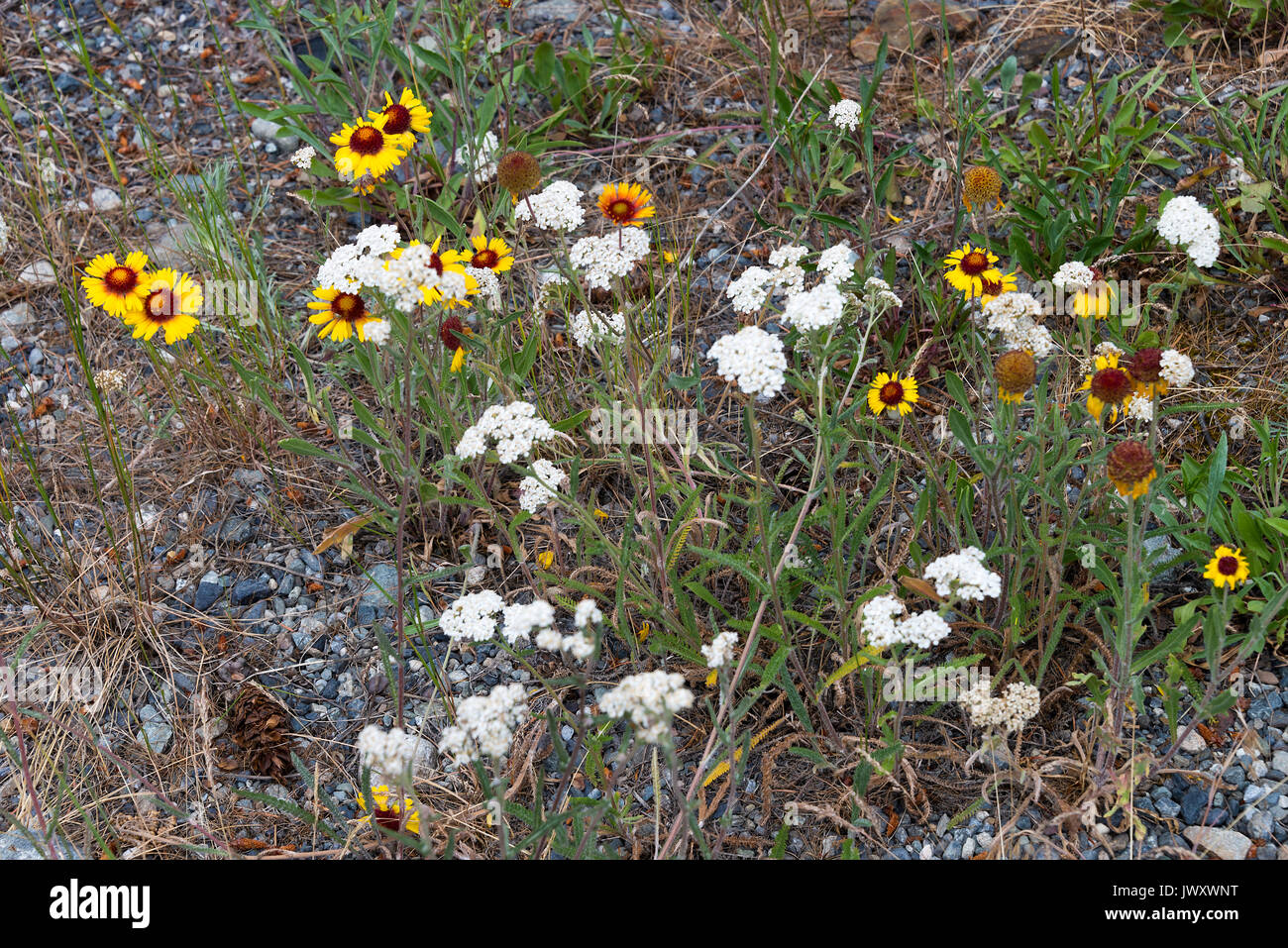 Wild Yellow Blanket Flowers And White Cow Parsley Umbels On A Stock