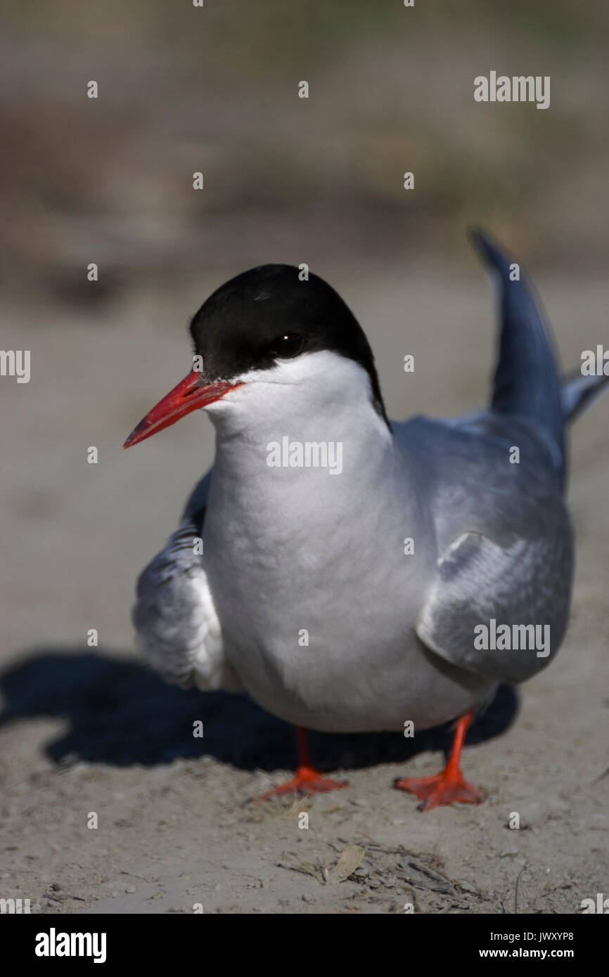 Arctic Tern (Sterna paradisaea) perched on the ground at Potter Marsh, Anchorage, Alaska - Stock Image