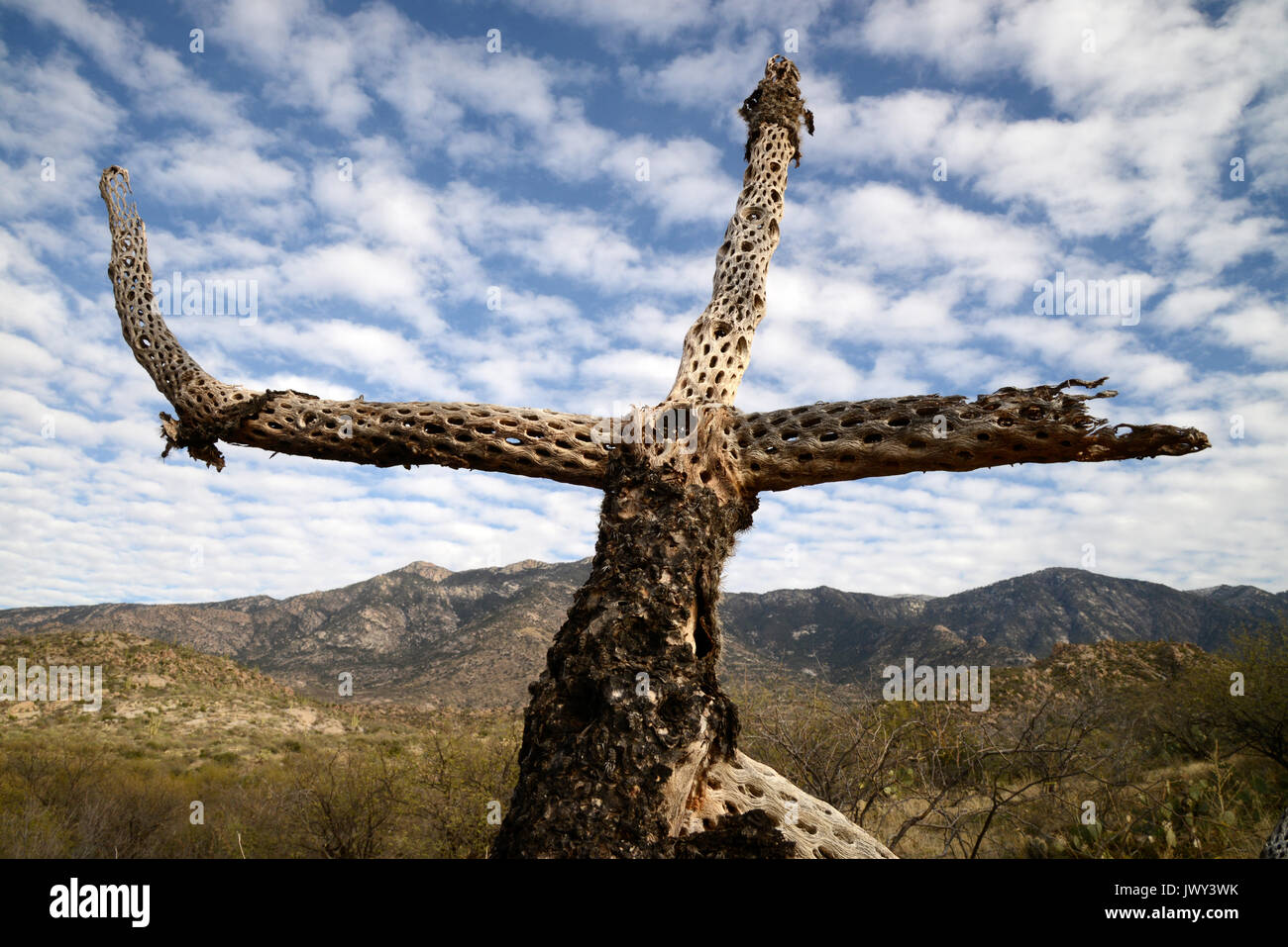 The skeleton of a cholla cactus stands over the Sonoran Desert in the foothills of the Santa Catalina Mountains, Stock Photo