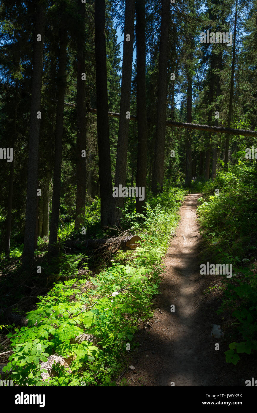 The Black Canyon Trail ascending through old evergreen trees in the northern Snake River Mountains. Bridger-Teton National Forest, Wyoming - Stock Image