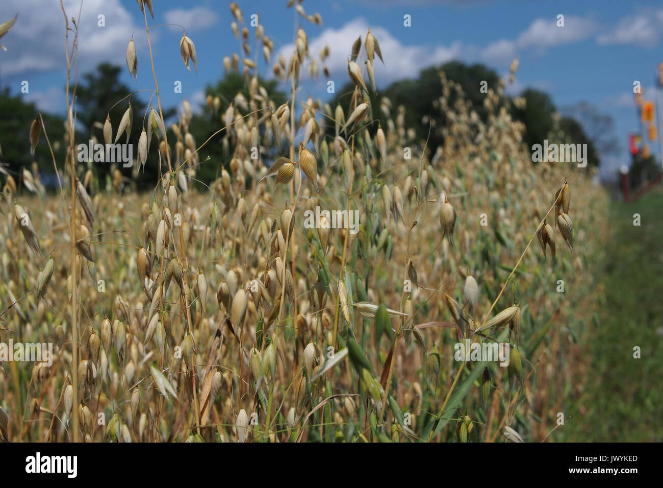 Oat field at the Central Experimental Farm (CEF), Ottawa, Ontario, Canada. - Stock Image