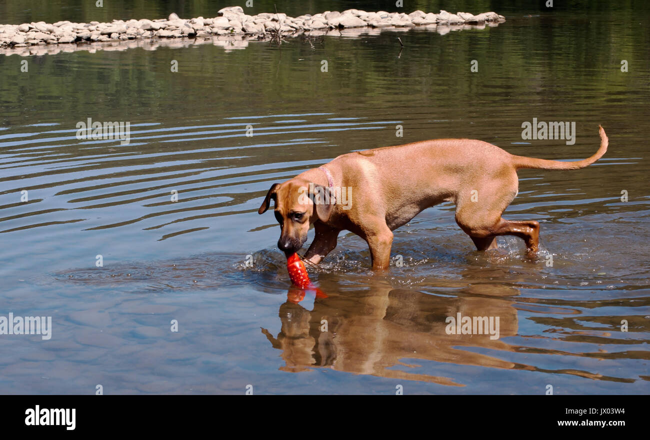 Rhodesian Ridgeback with her toy in the river - Stock Image