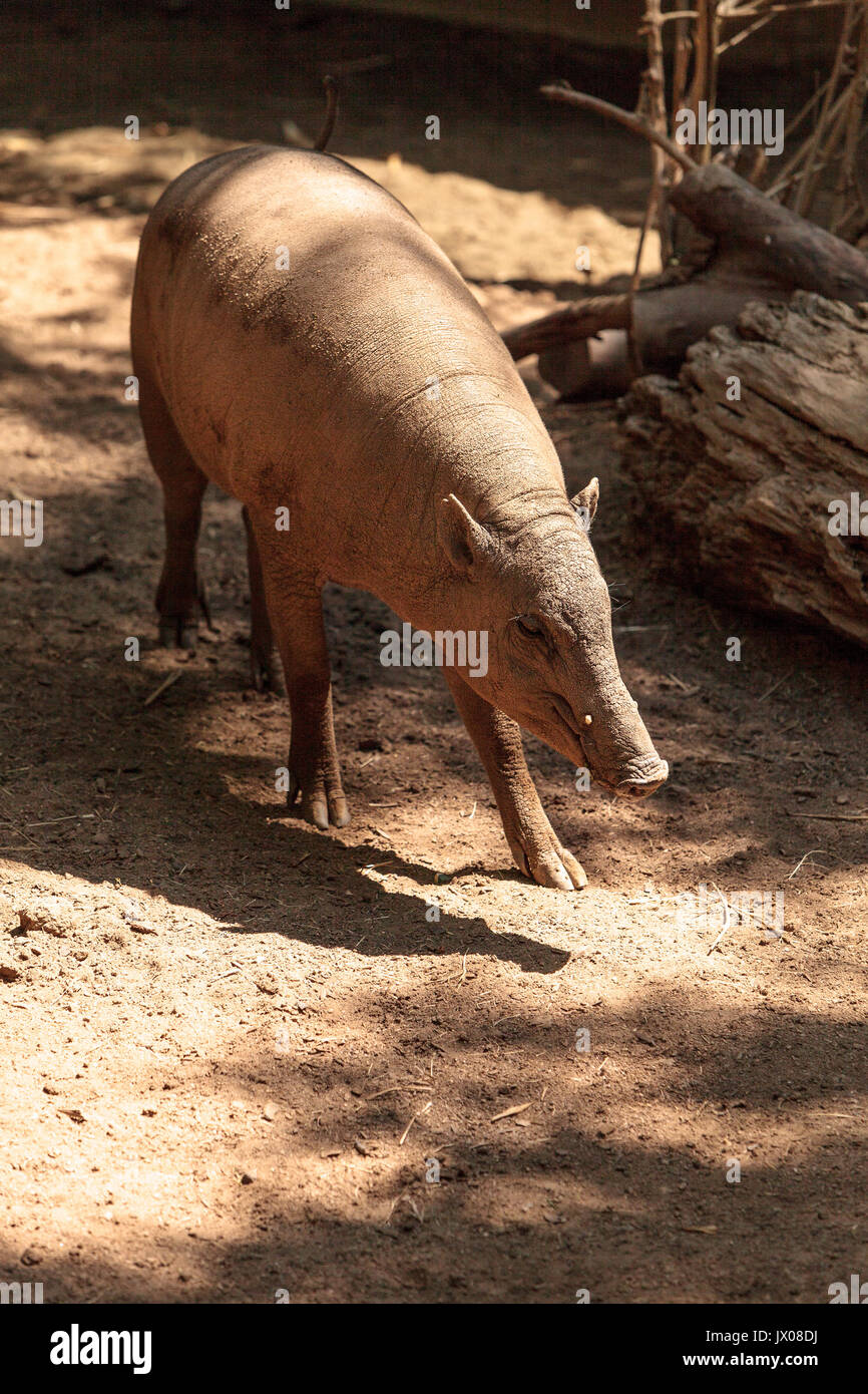 North Sulawesi Babirusa also called Babyrousa celebensis is a porcine animal found in Indonesia - Stock Image