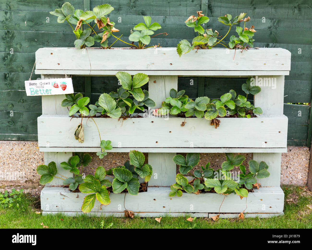 Strawberry Plants growing in a wooden planter made from an old wooden pallet - Stock Image