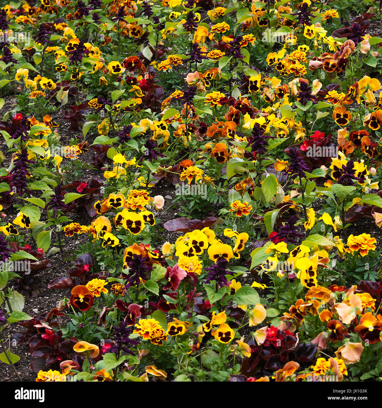 A Beautiful Display of Colourful Pansy Flowers in Full Bloom at Butchart Gardens Victoria Vancouver Island British Columbia Canada - Stock Image