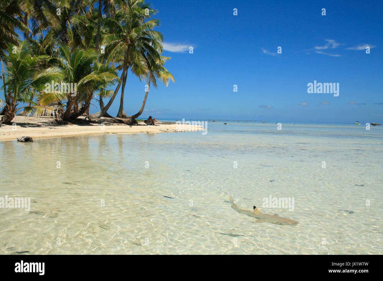 Requin à pointes noires nageant devant un îlot de l'atoll de Rangiroa -  -   -   - - Stock Image