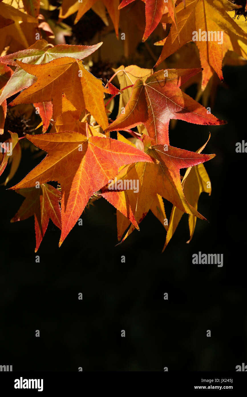 Many sunlit reddish orange Sweetgum leaves turning in the fall, black background. Closeup of foliage fills top of frame, bottom space for copy - Stock Image