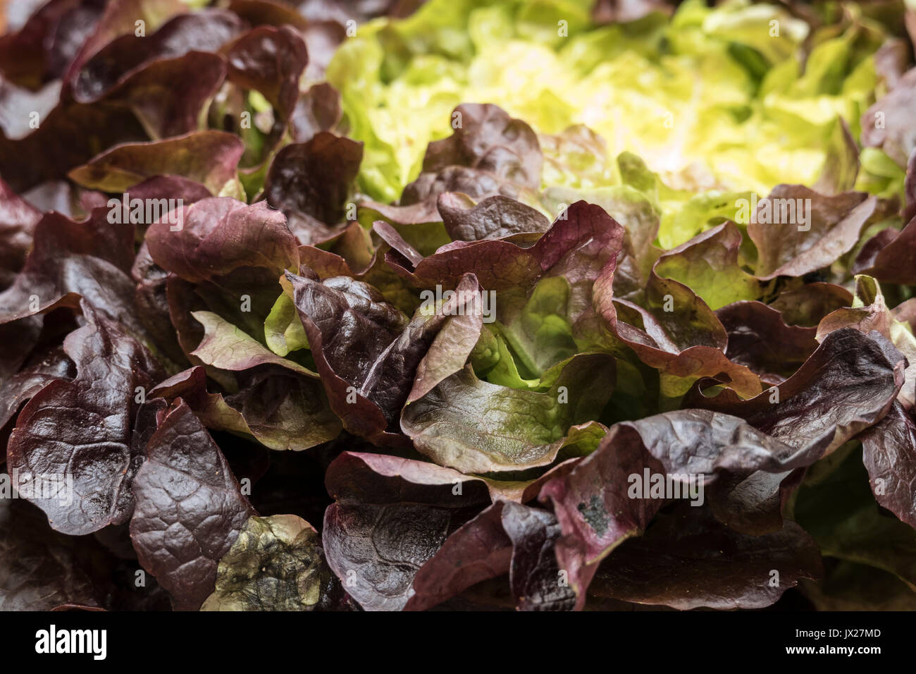 Bio organic red oak leaf lettuce closeup view in natural light - Stock Image