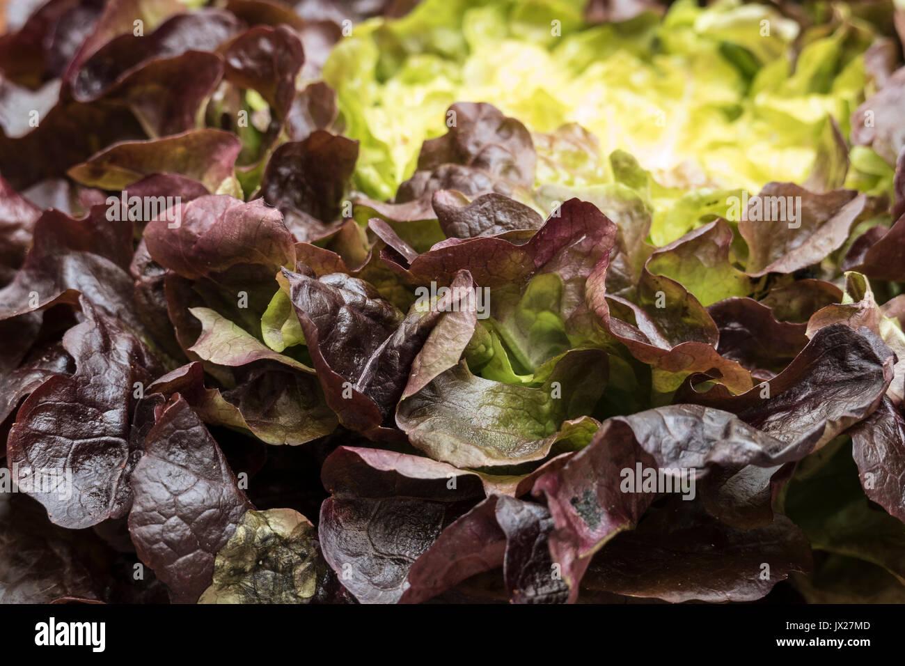 Bio organic red oak leaf lettuce closeup view in natural light - Stock Image