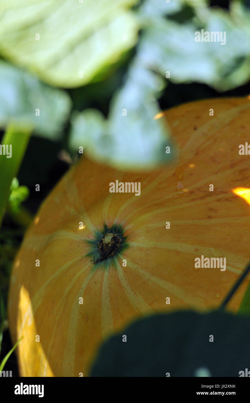pumpkins growing in a garden with leaves and shapes green around them ready for Halloween in October autumnal seasonal vegetables - Stock Image
