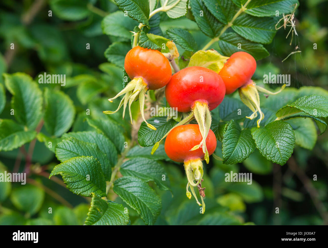 Rose Hip, also called Rose Haw and Rose Hep, an accessory fruit of the Rose plant, growing in late Summer in the UK. Red Rose Hip fruit closeup. - Stock Image