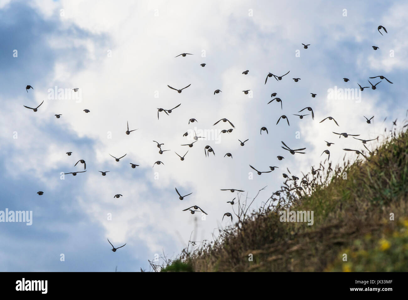 A flock of starlings seen against the sky. - Stock Image