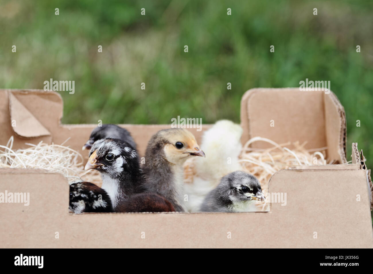 Mail ordered baby mixed chicks in a packing box. Extreme depth of field with selective focus on the little Silver Laced Wynadotte and Blue Cochin - Stock Image
