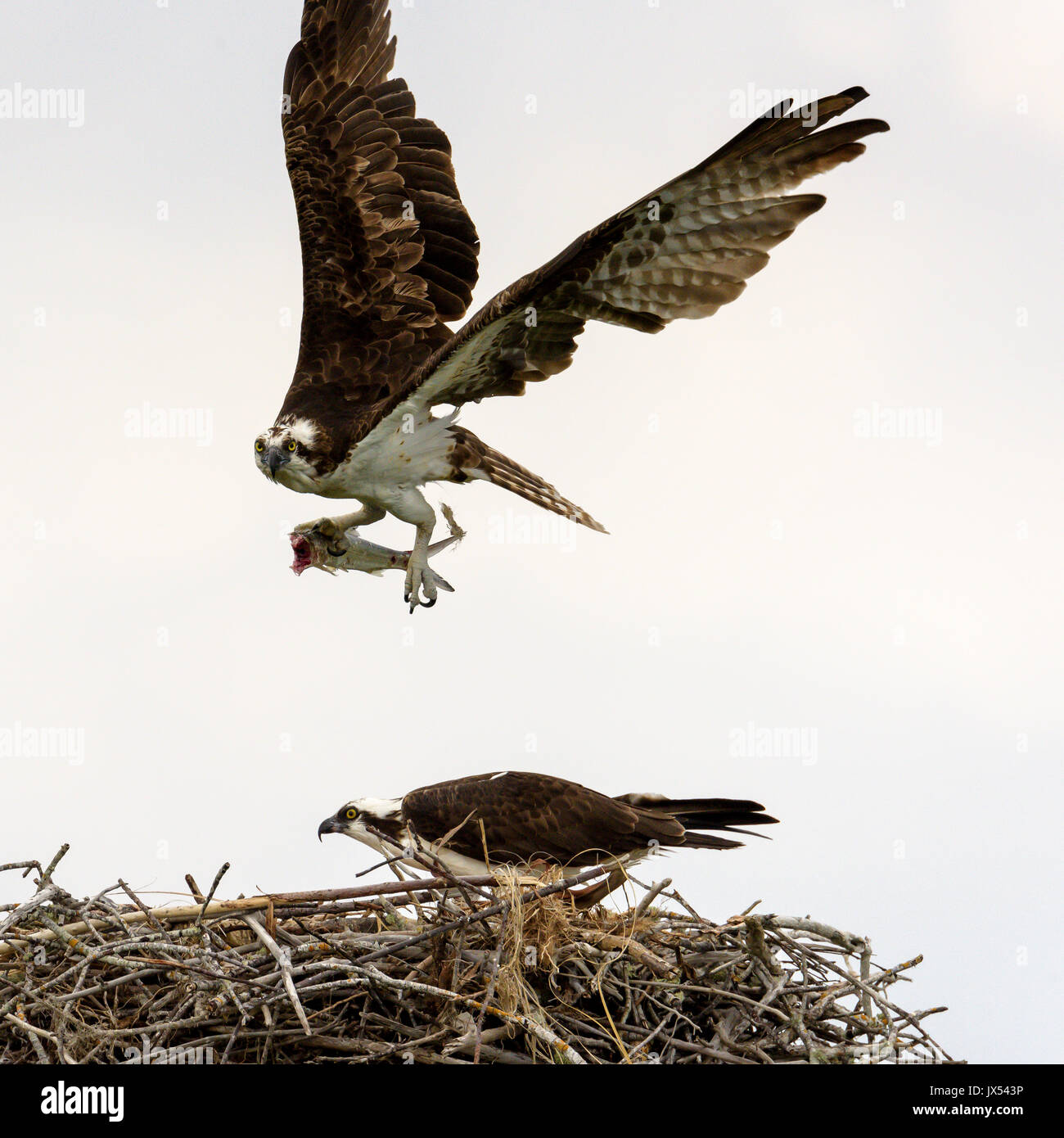 Osprey (Pandion haliaetus) flying from nest with fish, Tigertail Beach, Marco Island, Florida, USA Stock Photo