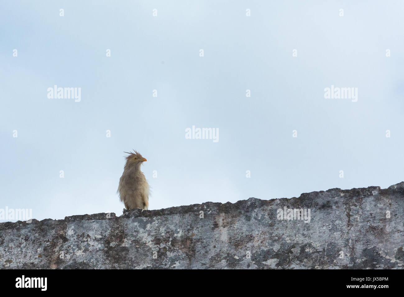 Guira cuckoo (Guira guira) rests on wall, Asuncion, Paraguay - Stock Image