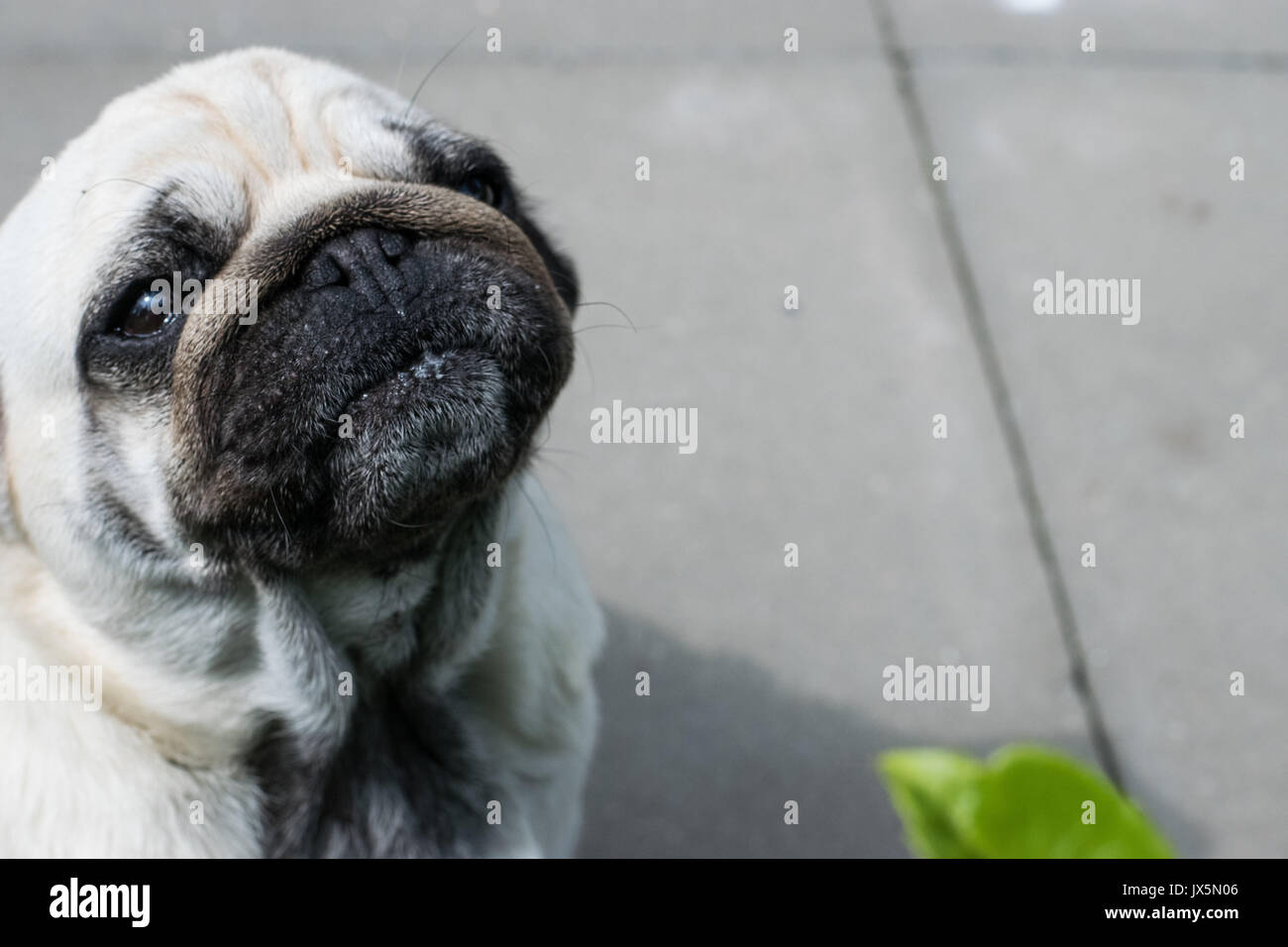 Mops dog - Stock Image