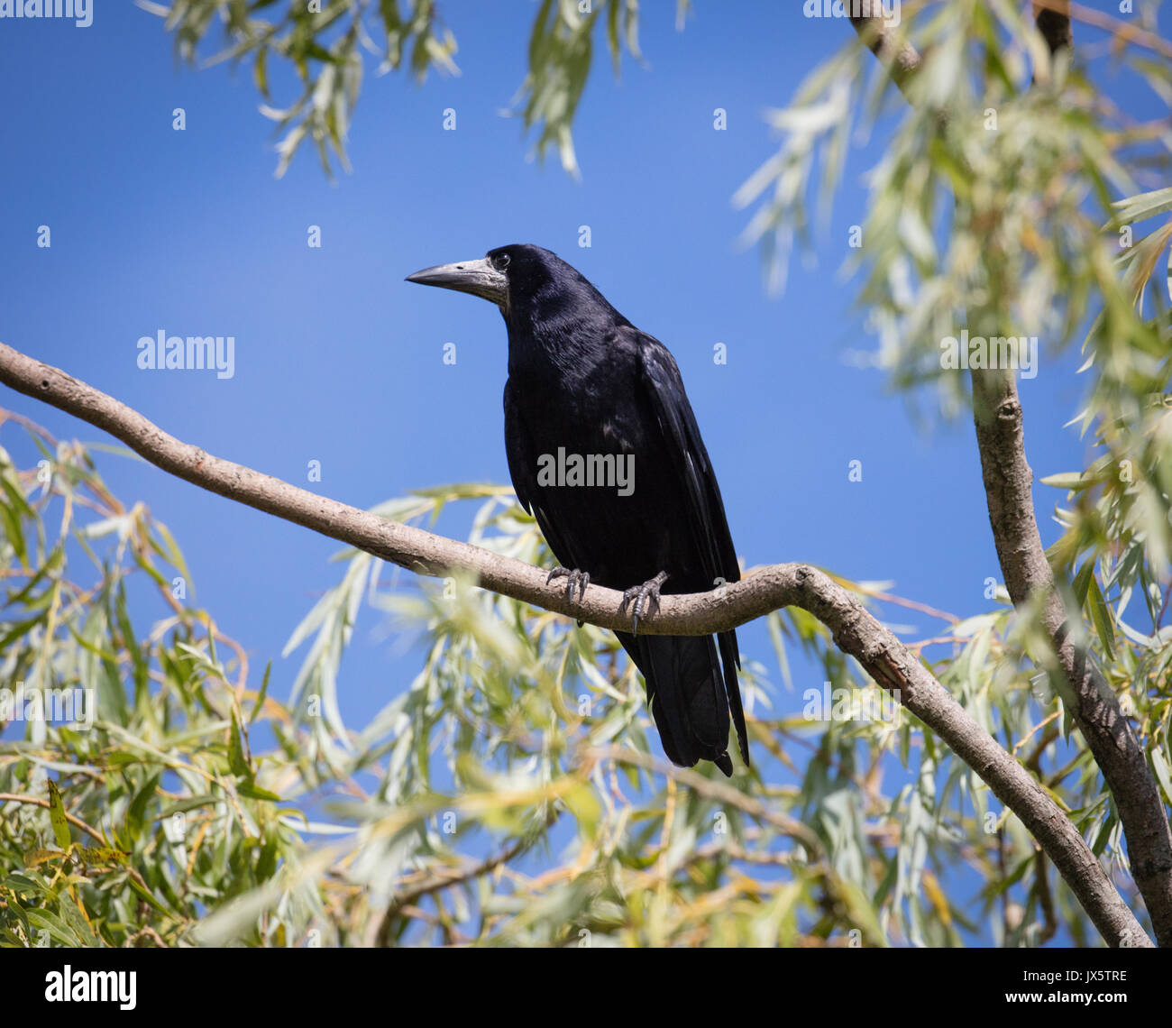 Rook Corvus frugilegus with glossy black plumage looking down from the branches of a willow tree in Gloucestershire UK - Stock Image