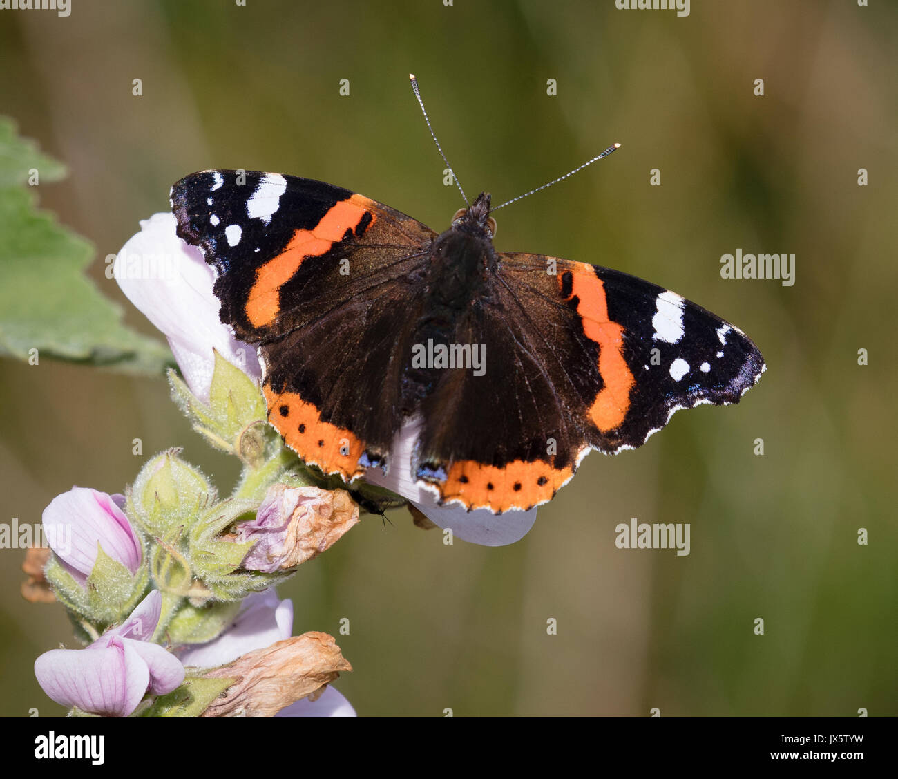Red admiral butterfly Vanessa atalanta imago feeding on marsh mallow flowers Althaea officinalis on marshland on the Gower peninsula of South Wales UK - Stock Image