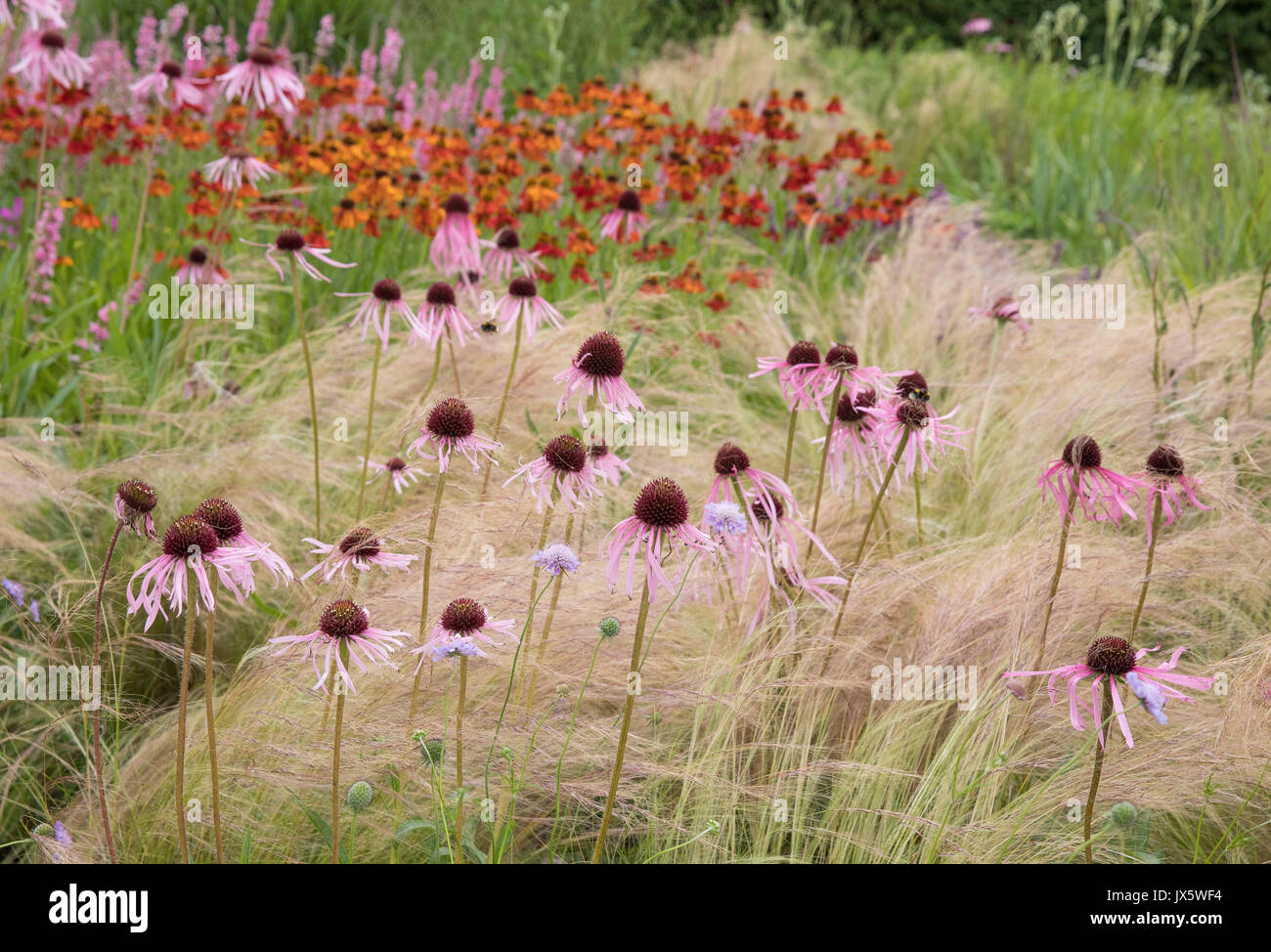 Striking association of Stipa tenuissima Ponytails grass, Echinacea purpurea and Helenium in the perennial garden at Hauser and Wirth in Somerset - Stock Image