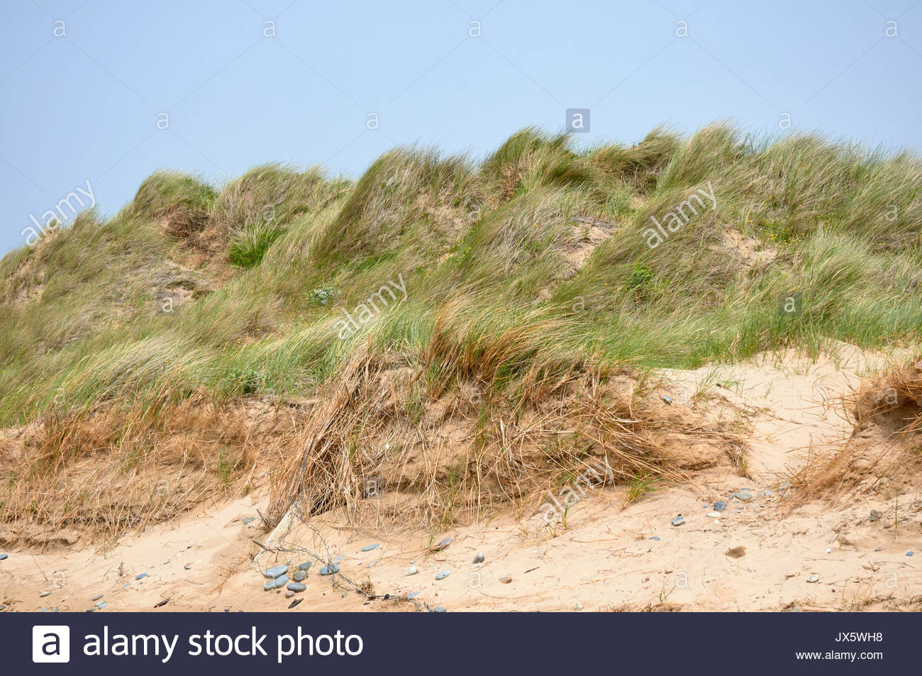 Marram grass ammophila arenaria on sand dunes on a british uk sandy beach - Stock Image